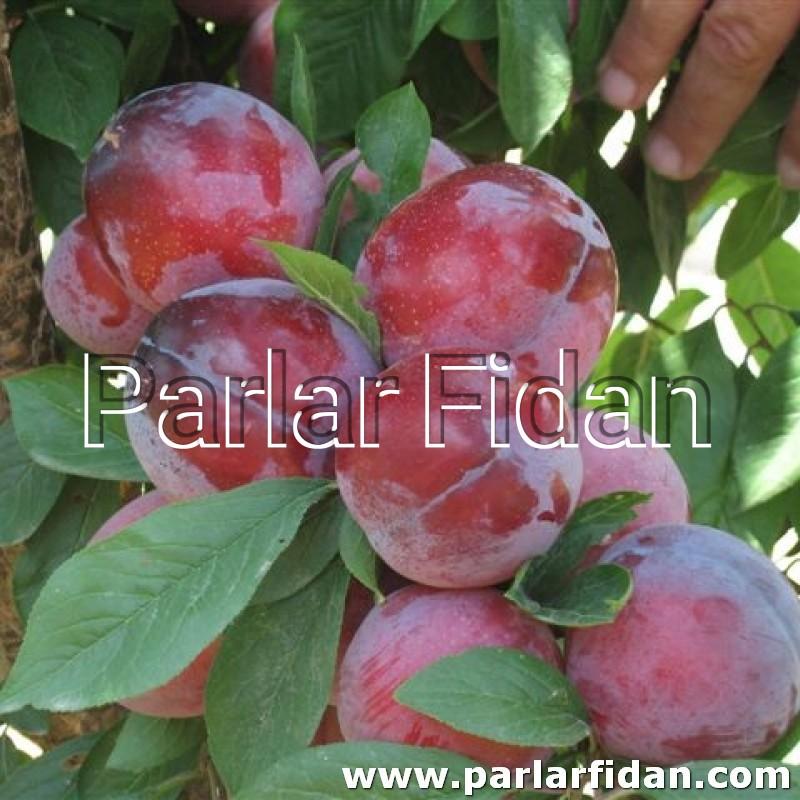 Early Queen Plum Sapling | parlar fidan