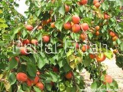 Erkenci Kayısı, Meyve fidanı , meyvefidani , kayısı, kayisi, kayısı fidanı ,kayısi fidani , kayisi fidani, kayısı agaci, kayısı ağacı , kayısı ağaci , kayısı meyvesi , apricot sapling , apricot saplings , fruit , fruit saplings , apricot tree , apricot trees , meyve fidanı fiyat , meyve fidani fiyat , meyvefidanıfiyat, kayısıfidanı fiyat, mogador, magador, mogador kayısı, magador kayısı