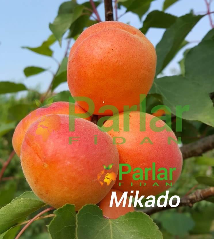 Mikado Kayısı Fidanı