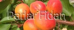 Flopria Kayısı